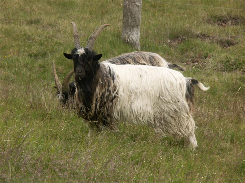 Iceland Mountain goats perhaps.jpg